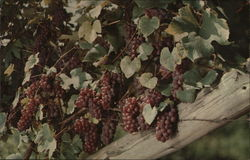 Delaware Grapes in thee Vineyards if the Taylor Wine Company near , New York Postcard