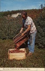 Harvesting Cranberries on Cape Cod