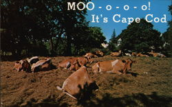 MOO-o-o-o! It's Cape Cod