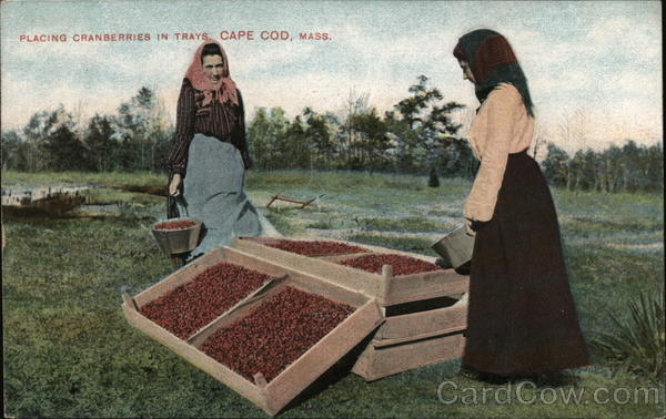 Placing Cranberries in Trays Cape Cod Massachusetts