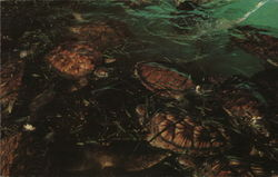 Green Turtle Feeding on Turtle Grass at Mariculture Ltd. Sea Turtle Farm