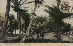 Gathering Cocoanuts - Aloha Nui