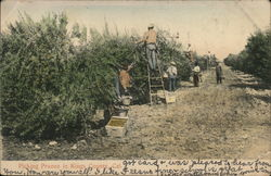 Picking Prunes in Kings County