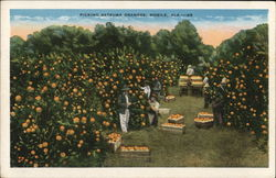 Picking Satsuma Oranged