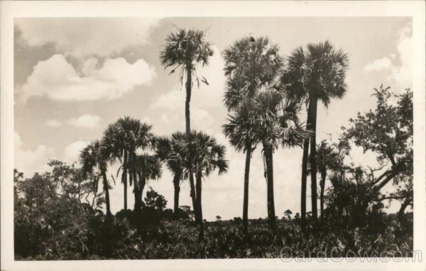 Cabbage, Palmetto, Kissimmee Prairie View, Lake Okeechobee