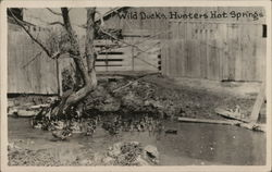Wild Ducks, Hunters Hot Springs