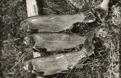Native Trout of the Rockies Fish Postcard