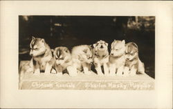 Chinook Kennels, Siberian Husky Puppies