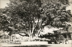 Rubber Tree, Over 100 Years Old Postcard