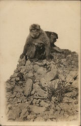 Pair of Monkeys Postcard
