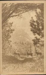 Three Deer on Trail, Yosemite