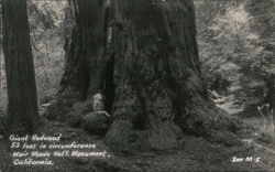 Giant Redwood in Muir Woods National Monument