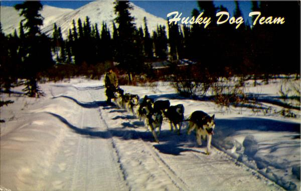 Alaska Husky Dog Team Dogs