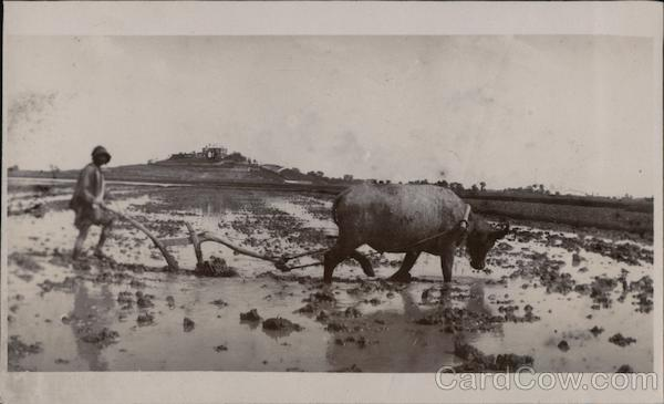 Plowing Flooded Field With Oxen Pulled Plow Farming