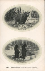 Bears in Yellowstone Park Postcard