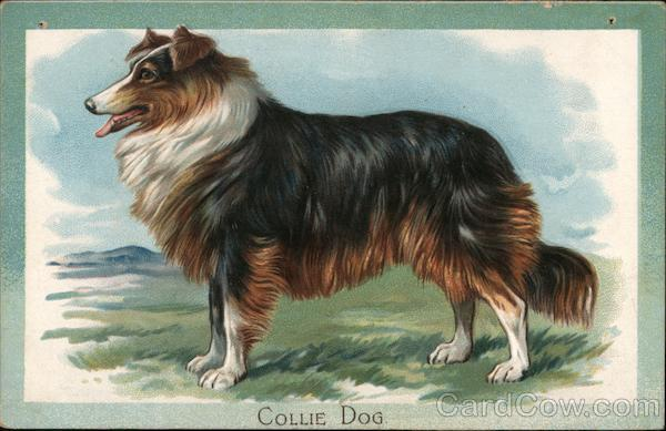 Collie Dog Dogs