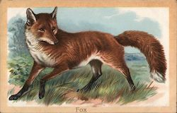 The Fox (Canis Vulpes)