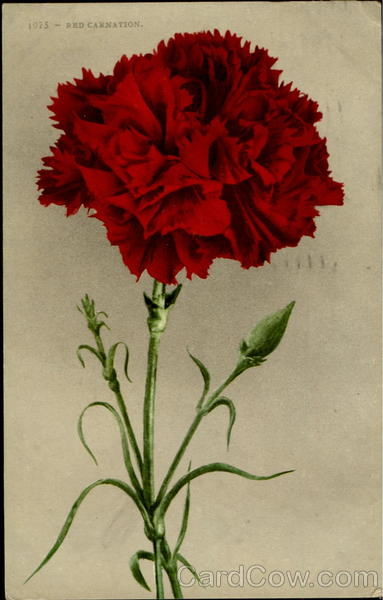 Red Carnation Flowers