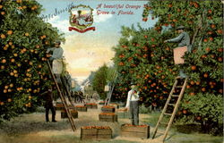 A Beautiful Orange Grove In Florida