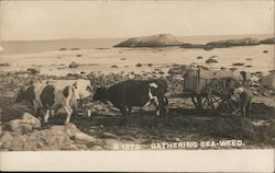 Gathering Seaweed at the Beach With Wagon