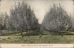Apple Orchard in Bloom Near