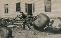 Hard Work -- Moving Giant Beets Postcard