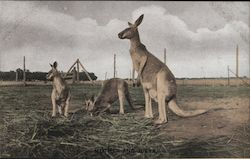 Kangaroo Mother and Joeys