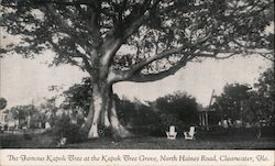 The Famous Kapok Tree at the Kapok Tree Grove, North Haines Road