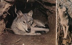 Timber Wolf - Female and Seven Puppies (Grey Wolf)