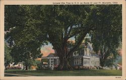 Largest Elm Tree in U.S.