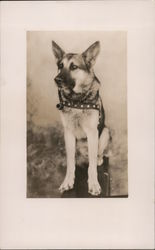 German Shephard With Pipe in Mouth