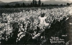 Girl Dressed in White, Standing in a Field of Gladioli Postcard