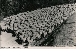 Montana Traffic Jam of Sheep Postcard