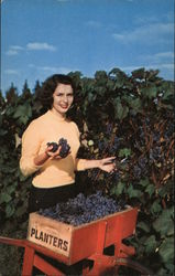 Grape Harvest Postcard