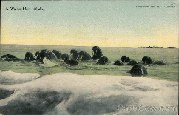 A Walrus Herd, Alaska