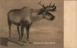 Trained Sled Deer Postcard
