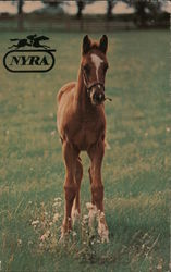 Thoroughbred Foal Stands in Field Postcard