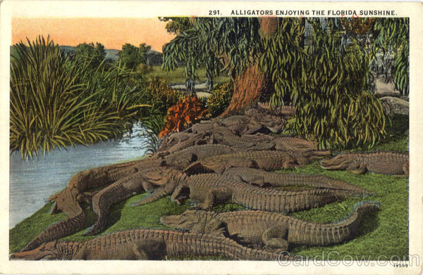 Alligators Enjoying The Florida Sunshine