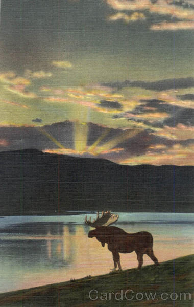 A Bull Moose comes down to the Lake at evening