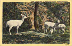 White Fallow Deer, Lookout Mountain Postcard