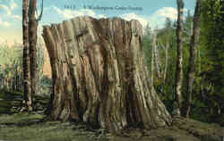 A Washington Cedar Stump