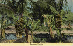 Bananas, Banana Trees