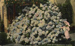Bush Of Hydrangeas