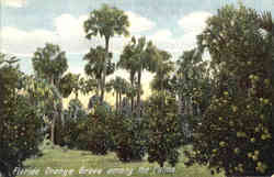 Florida Orange Grove among the Palms