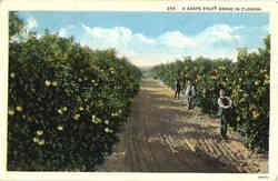 A Grape Fruit Grove In Florida