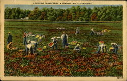 Picking Cranberries A Leading Cape Cod Industry