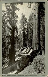 Giant Redwoods , Sequoir National Park