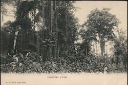 Costarican Forest