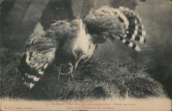 Cagon bird only found in New Caledonia Postcard