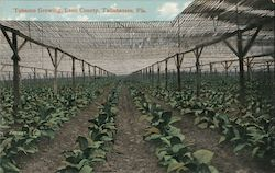 Tobacco Growing, Leon County